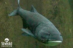 Shedd-image-asian-carp